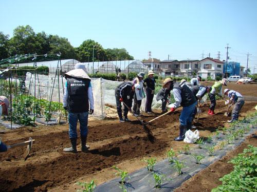 timeless design 24a0e 21ef4 これから8月まで1月に1回の割で追肥を行い、8月日照りの時はマルチングをして,土の乾燥を防ぎます。これらの管理は新座研修生スタッフが行います。11月中旬の  ...